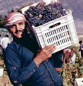 Wine- lebanese,harvest