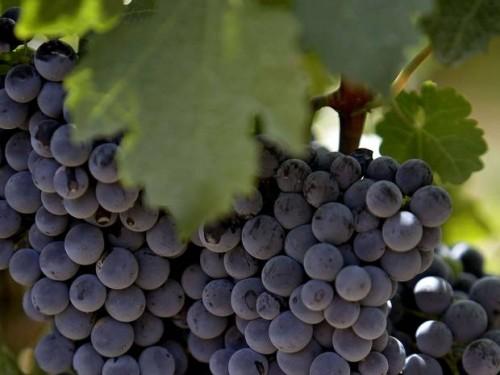 Lebanese Grapes