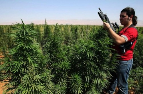 An armed bodyguard inspects a field of Cannabis plants in the village of Knaysseh in the Bekaa Valley in Lebanon on July 30, 2008. (Photo: AFP/Getty Images- Ramzi Haidar)