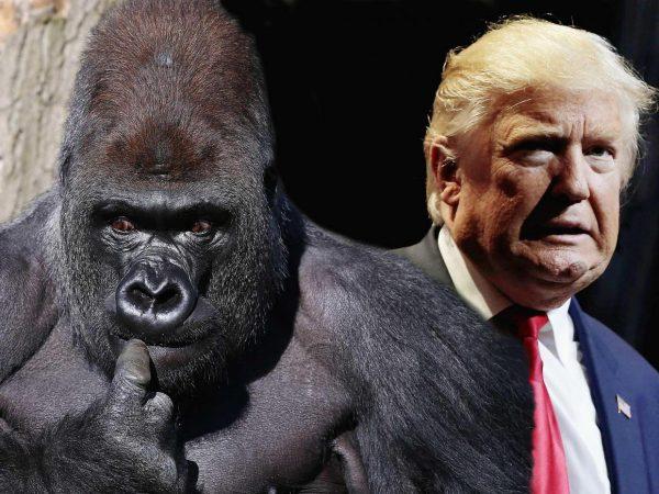BBC blunder sees escaped gorilla replace Nicola Sturgeon