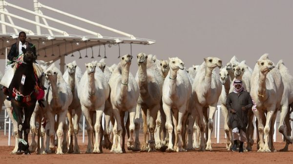 Saudi men lead camels during a beauty contest as part of the annual King Abdulaziz Camel Festival in Rumah, Saudi Arabia, on Friday. A dozen camels were banned from the competition for receiving Botox injections. Fayez Nureldine/AFP/Getty Images