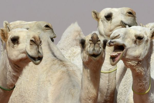 The standards of camel beauty can include delicate ears and long lips. Fayez Nureldine/AFP/Getty Images