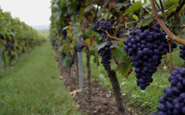 Many wine producers in the Middle East and North Africa that include Lebanon, Iraq, Syria, Turkey, Egypt, Morocco and Algeria, have succeeded in staying in business despite war, upheaval and militant religious opposition.