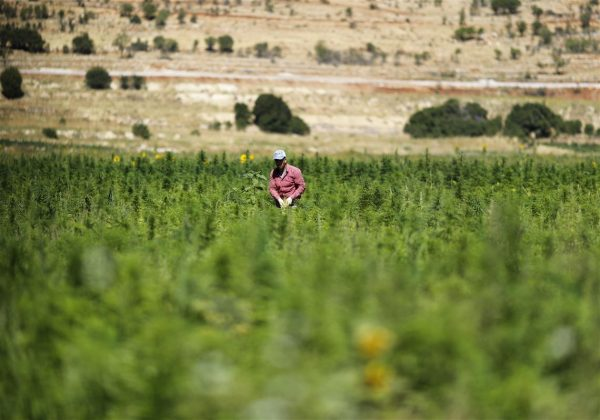 Lebanon-Legalizing-Hashish cannabis