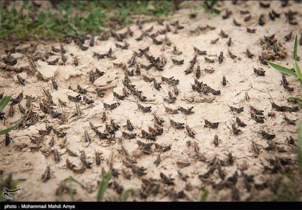 locusts in iran